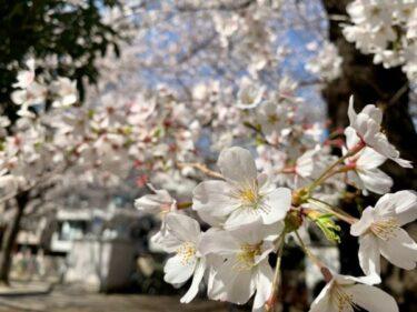 池袋でお花見&桜を見るならココ!池袋民が教える定番&穴場スポット